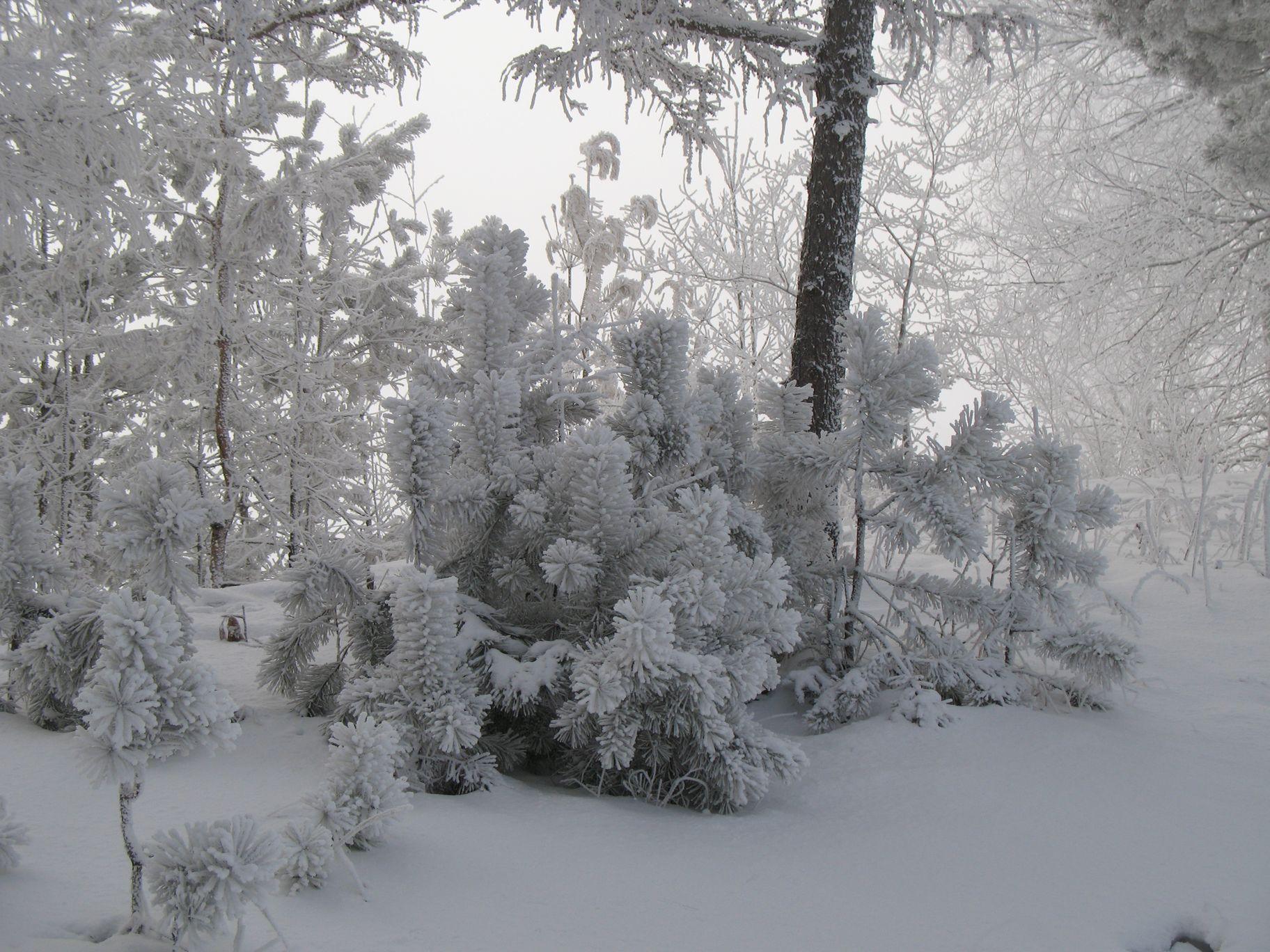 http://botsad-amur.ru/wp-content/uploads/2017/01/Снежное_кружево_фото_Бешецкой_А.А._result.jpg